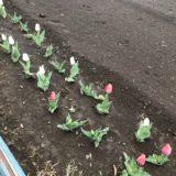 小学校の通学路に咲くチューリップ